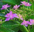 散歩道の花~アジサイ