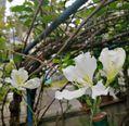 白いバウヒニア、オーキッドツリー