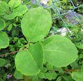 「新品種誕生か?」 観察日記「1本の『あけび』の蔓に3種の葉があるのだ!」