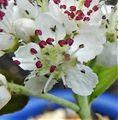 北米原産 アロニア アルブティフォリアの花