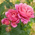 🌹今日のいち押しの薔薇さん🌹⑯