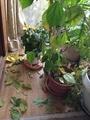 熱帯花木とクリロの蕾