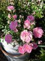 🌹P.Rose Garden 2021.05.14: 1/8