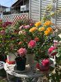 🌹P.Rose Garden 2021.05.14: 8/8