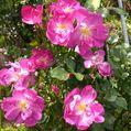 🌹今日のいち押しの薔薇さん🌹⑱