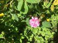 バラがちょっとだけ咲いてきました。