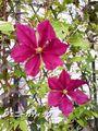 改めまして この様な花です。