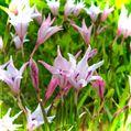 お掃除しながら🧤お庭巡り🎶春咲きグラジオラス