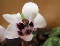 コウムの白花が欲しい!!