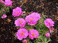 庭に咲く花  5月17日