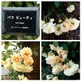 (オンタイム日記)小雨が降る中、元気に咲く『バラ園』のバラ達🌹🌹🌹①