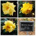 (オンタイム日記)小雨が降る中、元気に咲く『バラ園』のバラ達🌹🌹🌹③