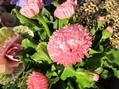 つぼみがいっぱいだけど みんな咲くかな?