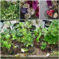 バラ花壇整理