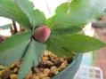 sdデュメ交配の葉っぱが綺麗とそのつぼみ