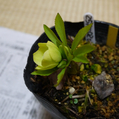 さてクリロの開花が始まりました。