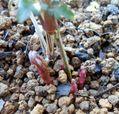 クレマチスの芽。