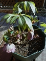 ノラクリの開花