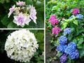 紫陽花とインパチェンス♪