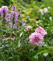 バラと草花