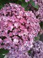 💞おたふく紫陽花〜☆彡