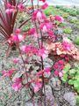 曇り☁️。クチナシ。ヒューケラ。大根のお花。