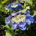 アナベルと紫陽花の競演💠