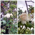 今朝、雨の庭