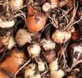春の球根、球茎の保存