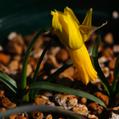 Narcissus cyclamineus