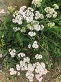ワンコの散歩道で見かける花