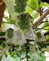 ブドウの袋がけ ネットがけ 傘がけ