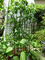 夏野菜栽培