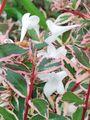 小雨🌂。白いお花。アベリア。シマトネリコ。キンカン。