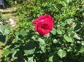 やっと咲いたバラともうじきお終いのバラ