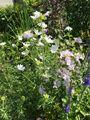 夏至 宿根草マルバが咲きました。
