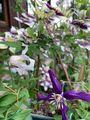 クレマチス&二番花🌹など、てんこ盛り😆