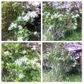 今日の庭:白色特集(笑)