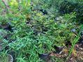 紫陽花の鉢の除草2-1