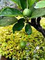ヒメリンゴの実とセダムの花
