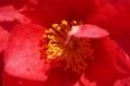 山茶花の庭