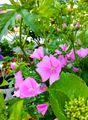 春の花💠と初夏の花マロウ