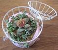 多肉 クラッスラ呂千絵の花