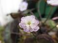 雪割草の開花①