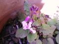 大根草開花
