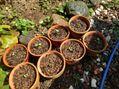 真夏に苺の植え替え