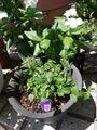 トレニア カタリーナ ブルーリバーの挿し芽、その後