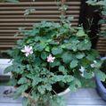 姫フロウ草、ツクシカラマツ盆栽と花壇