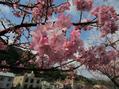 河津桜♪。