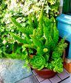 本日の植栽たち 千日紅 ニチニチソウ アスパラガスメイリーと多肉